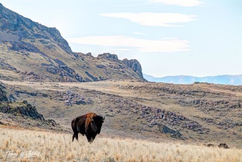 limited edition, fine art, prints, antelope island, utah, bull bison,