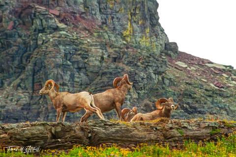 limited edition, fine art, prints, glacier national park, bighorn sheep, rams, photograph