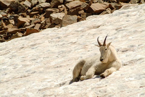 limited edition, fine art, prints, mount timpanogos, utah, mountain goat, billy goat, photograph, wildlife, snow, summer,