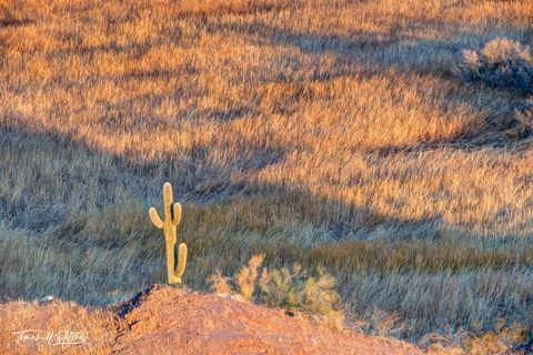 limited edition, fine art, prints, cactus, saguaro, bill williams river, arizona, morning, garden, reeds, abstract, shadows, photograph