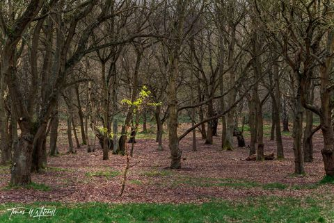 limited edition, museum grade, fine art, prints, sherwood forest, england, ents, tree,The Lord of the Rings, J.R.R. Tolkien, trees, paths, forest, ancient, woods, magic, photograph, green, grass, leaf