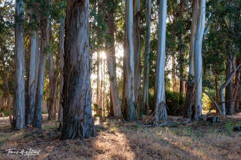 limited edition, fine art prints, monterey, california, eucalyptus, trees, forest, photograph, del monte avenue, sunrise, tree bark, sun star