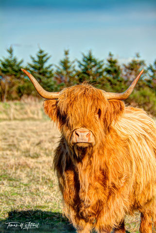 limited edition, fine art, prints, culloden, moor, scotland,  highland cow, cow, inverness, shaggy, hair, photograph
