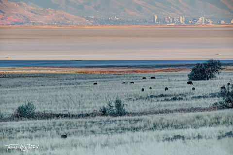 limited edition, fine art, prints, antelope island, utah, wildlife, city, great salt lake, mule deer, bison,
