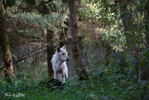 limited edition, fine art, prints, seattle WA, woodland park zoo, wolf, forest, trees, photograph, wild