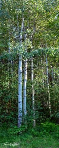 limited edition, fine art, prints, photograph, uinta mountains, summer, sentinels, leaves, trunks, quaking aspen, trees, flowers, panoramic, oakley utah