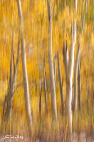 limited edition, fine art, prints, lamoille canoyn, nevada, national forest, icm, trees, abstract, photograph, grass, brush strokes, aspen trees, yellow leaves, golden