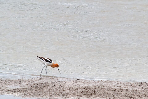 limited edition, fine art prints, american avocet, bear river bird refuge, utah, water, mud, ruddy, photograph, bird