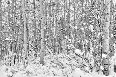 UINTA-WASATCH-CACHE NATIONAL FOREST, UTAH, aspen trees, winter, storms, white