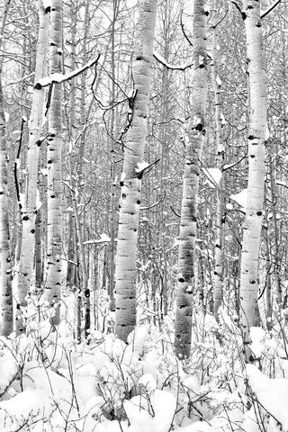 UINTA-WASATCH-CACHE NATIONAL FOREST, UTAH, aspen trees, winter, forest, snow, white
