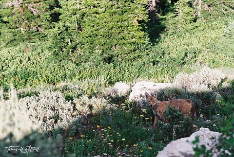 limited edition, fine art, prints, film, photograph, coyote, wasatch mountains, utah, wildlife, nikon, dog, wildlife,