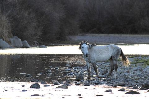 limited edition, fine art, prints, salt river, arizona, mustangs, horse, stones, reflection, photograph