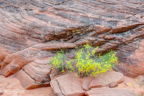 limited edition, fine art, prints, valley of fire, nevada, wildflower, mouses tank, flowers, blooming, red rock, sand, yellow, red, rock, sand, desert, photographed