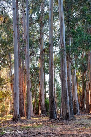 limited edition, fine art prints, eucalyptus, forests, monterey, california, del monte avenue, sunrise, trees