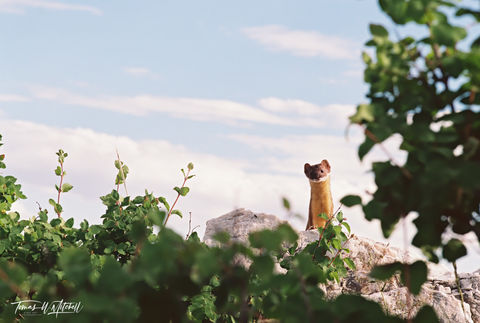 limited edition, fine art, prints, photograph wasatch mountains, utah ermine, film, sky, green, vegetation, wildlife