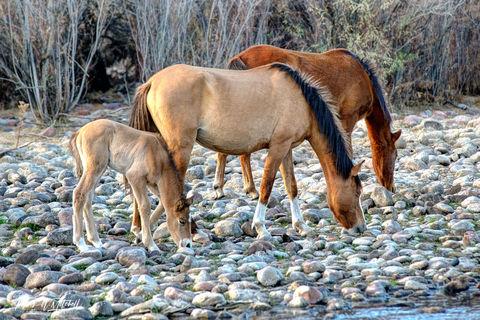 limited edition, fine art, prints, salt river, arizona, horses, mare, foal, stallion, photograph