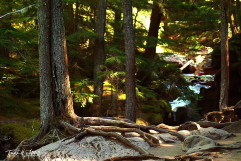 limited edition, fine art, prints, photograph, film, entwood, tree, rocks, avalanche creek, glacier national park, montana, roots, trees, forest, fangorn, the lord of the rings