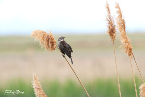 limited edition, fine art prints, female red-winged blackbird, plumage, blackbirds, bear river bird refuge, utah,