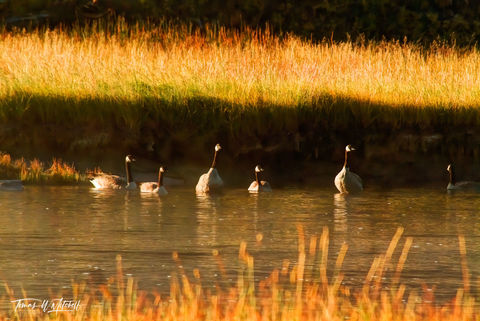 limited edition, fine art, prints, yellowstone national park, goose, morning, geese, grase, yellow, sun, photograph, madison river