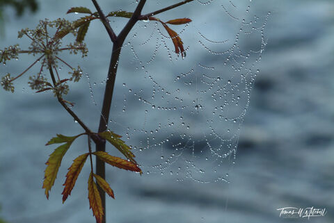 yellowstone national park, wyoming, limited edition, fine art prints, photography, madison river, photograph, gossamer, dew, spider web