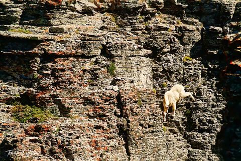 limited edition, fine art, prints, mount timpanogos, utah, mountain goat, photographing, wildlife, cliff face,