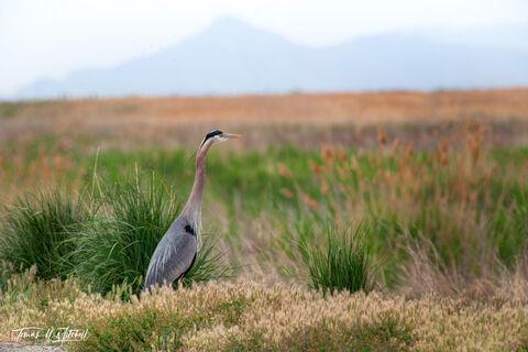 bear river bird refuge, utah, great blue heron, photograph, marsh, limited edition, fine art prints,