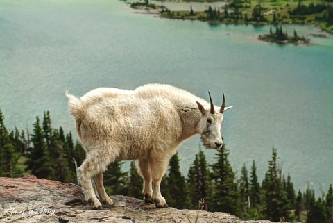 limited edition, fine art, prints, glacier national park, mountain goat, hidden lake, photographed,