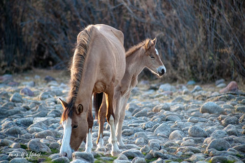 limited edition, fine art, prints, salt river, arizona, photographing, horses, mare, foal,