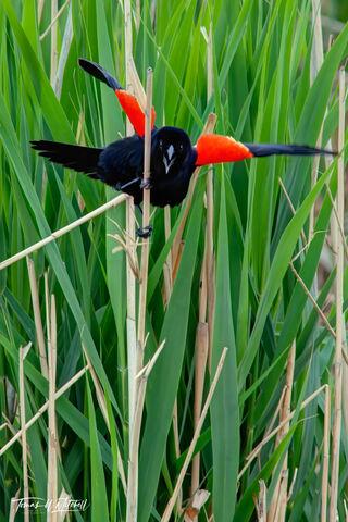 limited edition, fine art prints, red-winged blackbird, bear river bird refuge, utah, springtime