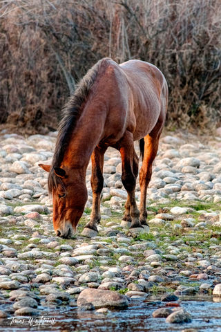 limited edition, fine art, prints, salt river, arizona, mustang, horses, stallion, photograph,