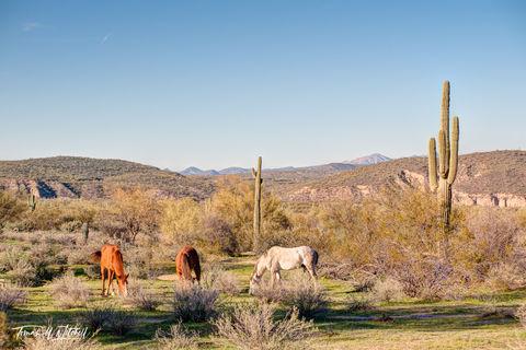 limited edition, fine art, prints, salt river, arizona, wild mustangs, horses, photograph, desert, river, stallion,
