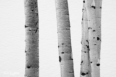 UINTA-WASATCH-CACHE NATIONAL FOREST, UTAH, limited edition, fine art, prints, tree, texture, quaking aspen, trunks, white, black, snow, winter, photograph