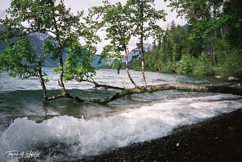 limited edition, fine art, prints, photograph, film, lake mcdonald, glacier national park, montana, birch tree, water, waves, mountain, summer