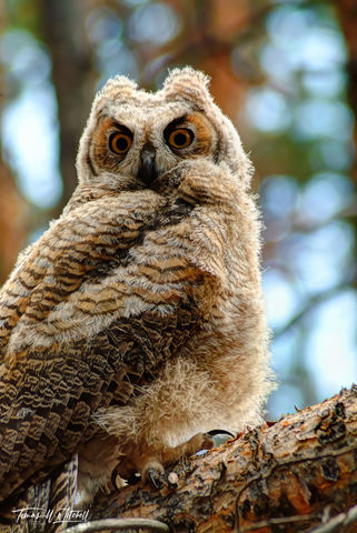 limited edition, fine art, prints, great horned owl, uinta mountains, utah, forests, owls