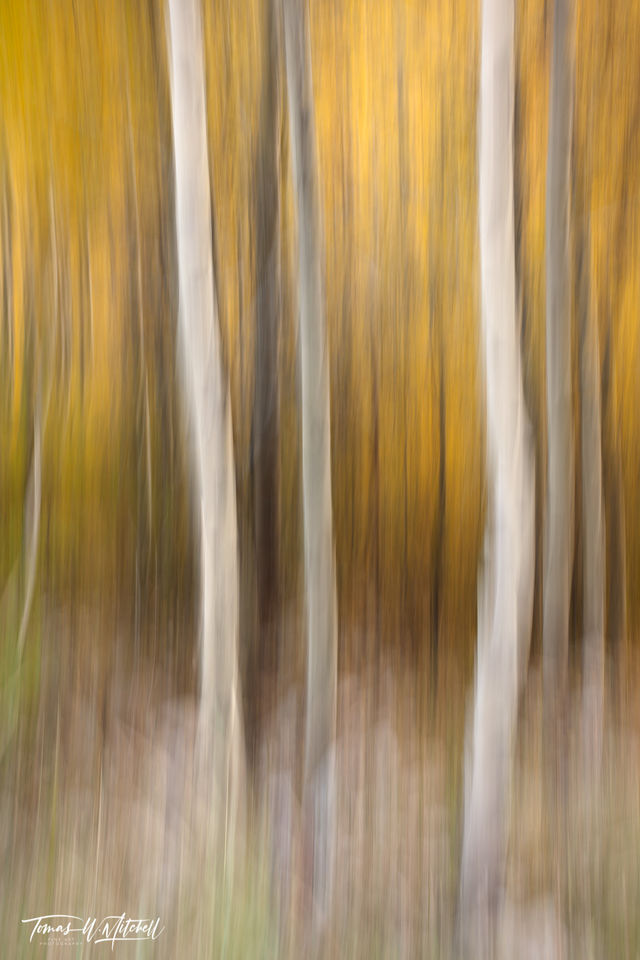 limited edition, fine art, lamoille canyon, nevada, abstract, humboldt national forest, trees, ICM, photograph, grass, green, golden, yellow quaking aspens