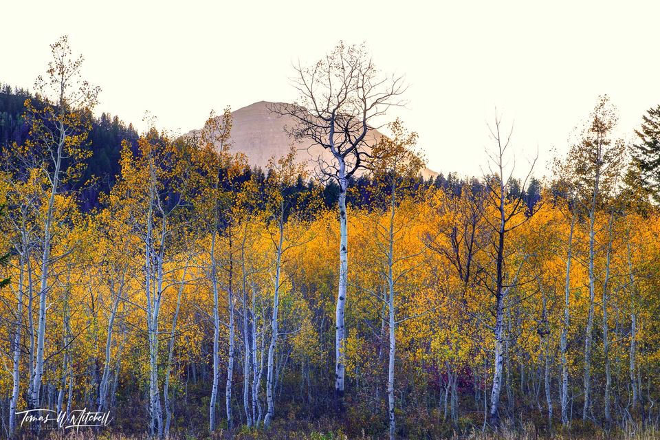 limited edition, museum grade, fine art, prints, alpine loop, utah, autumn, enchantment, photograph, evening, forest, mount timpanogos, bare trees, silhouetted, sky, trees, aspen trees, yellow