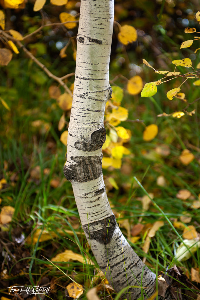 limited edition, museum grade, fine art, prints, photographed, forest, autumn, alpine loop, utah, aspen tree, sapling, trunk, golden fall leaves, green, grass, fall, tree