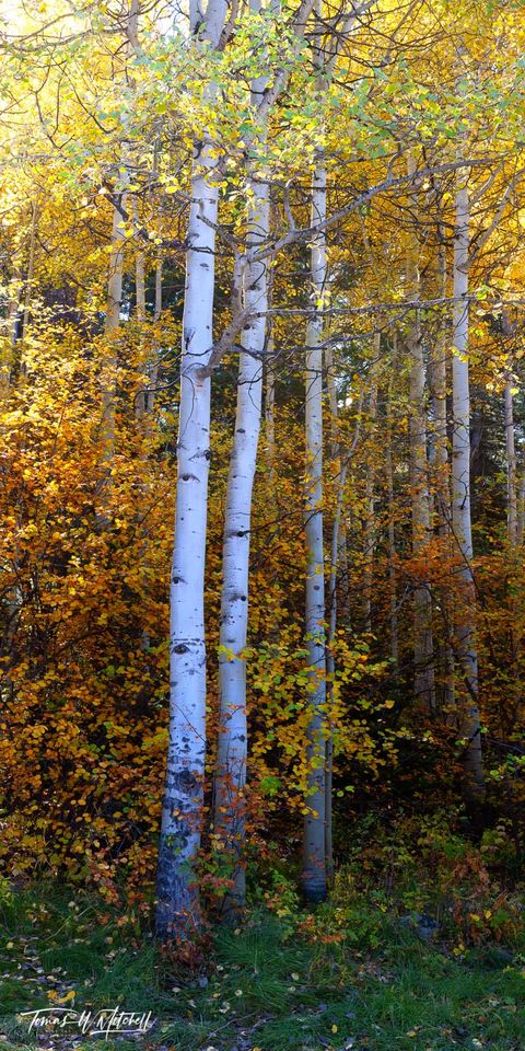 limited edition, museum grade, fine art, prints, oakley, utah, photograph, aspens trees, grass, yellow leaves, white trunks, yellow, red, green, golden, canopy, forest, uinta wasatch cache