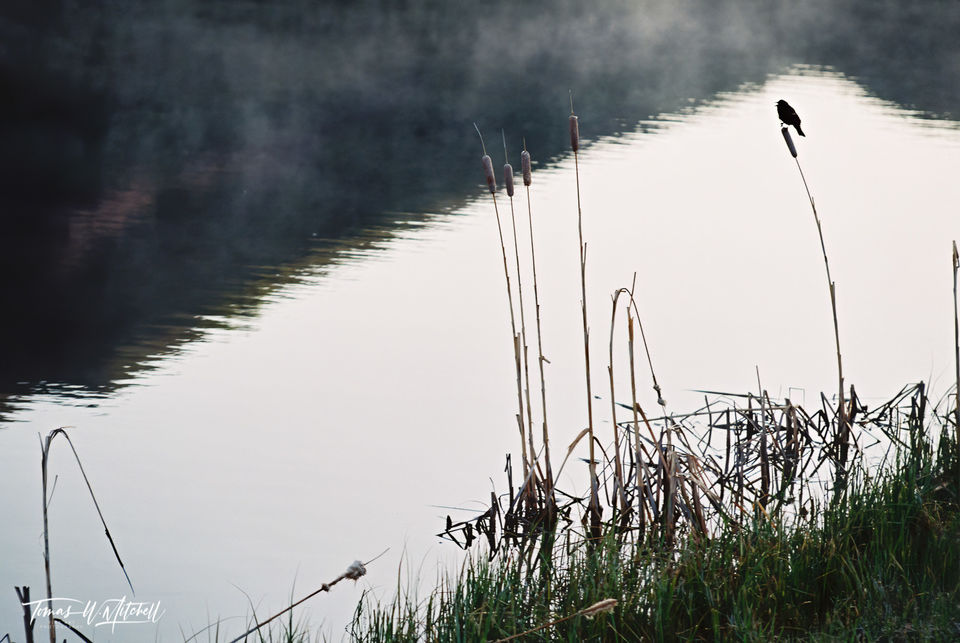 limited edition, fine art, prints, photograph, film, blackbird, morning, pond, mountain, reflection, water, bird, cattails, mist