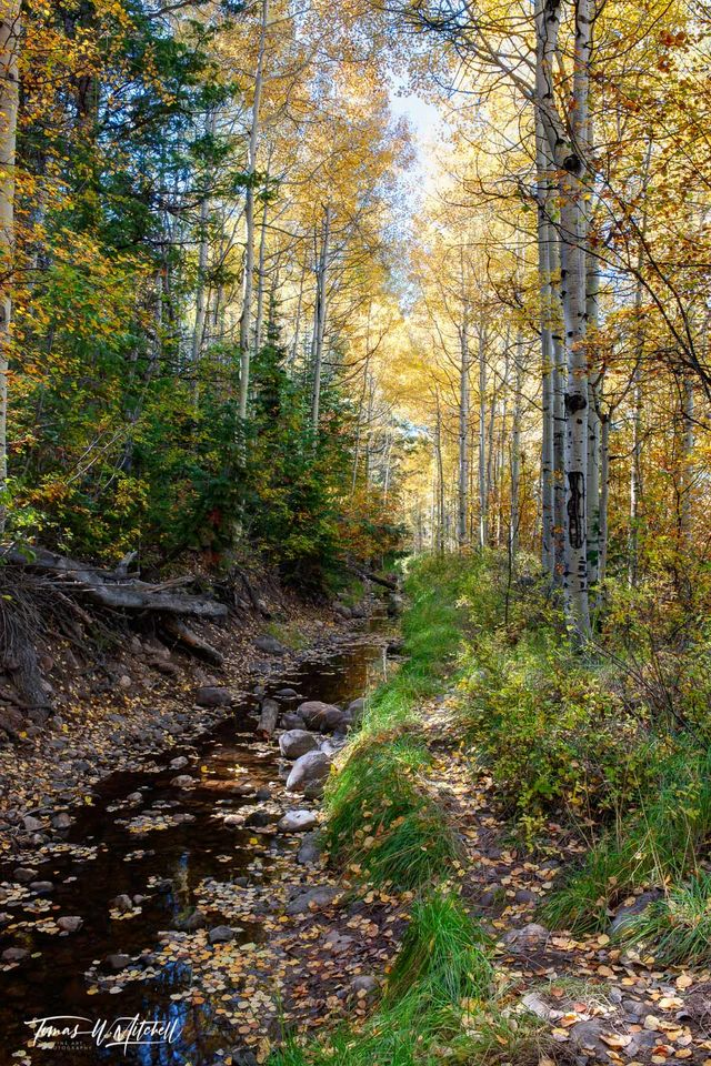 limited edition, museum grade, fine art, prints, stream, national forest, utah, fall, photograph, golden yellow leaves, water, pathway, green grass, white aspen trunks, forest