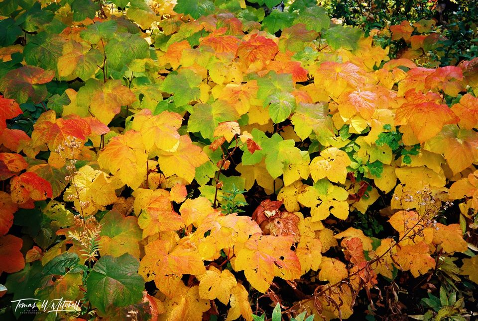 limited edition, fine art, prints, photograph, film, alaska, photographing, seward, portage, devil's club, fall, colors, yellow, green, reds, leaves
