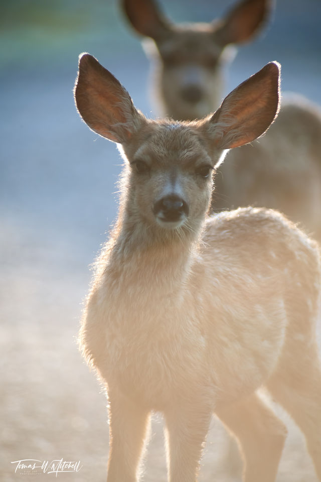 limited edition, fine art, prints, uinta mountains, utah, fawn mule deer, photographs, morning light
