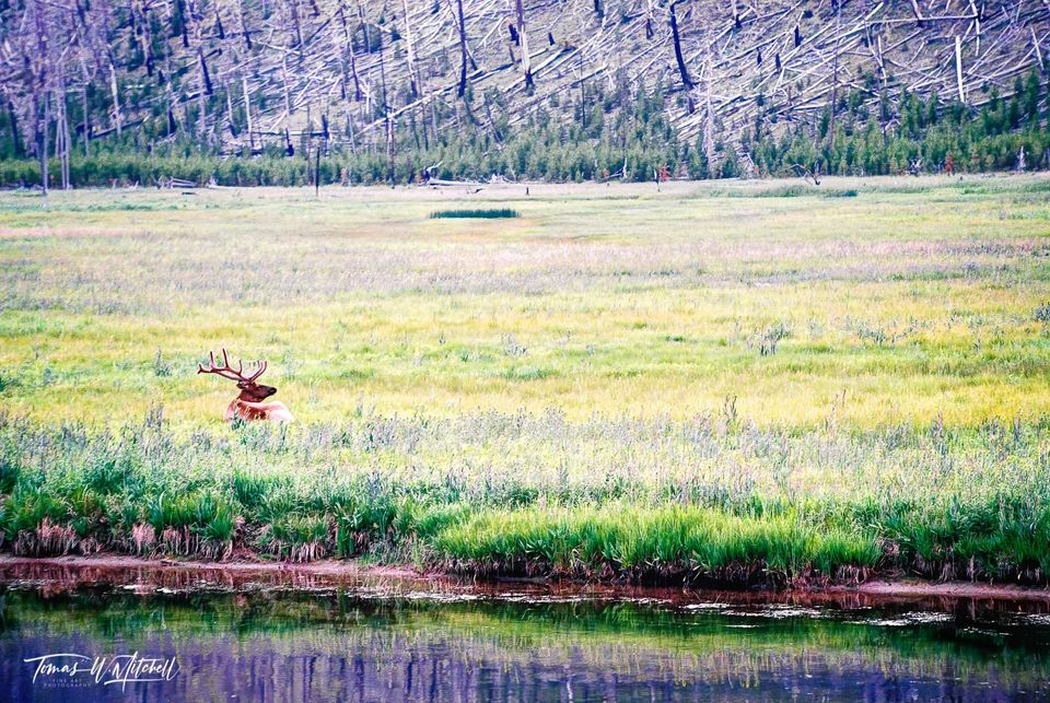 limited edition, fine art, prints, photograph, elk, meadow, yellowstone national park, film, flowers, trees