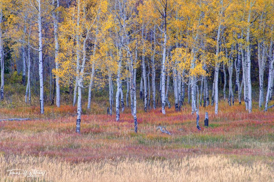 limited edition, fine art, prints, enchanted forest, fire alpine loop, utah, quaking aspen trees, trees, forest, grasses, fire, golden yellow, photograph, layers, grass, red, green, fall