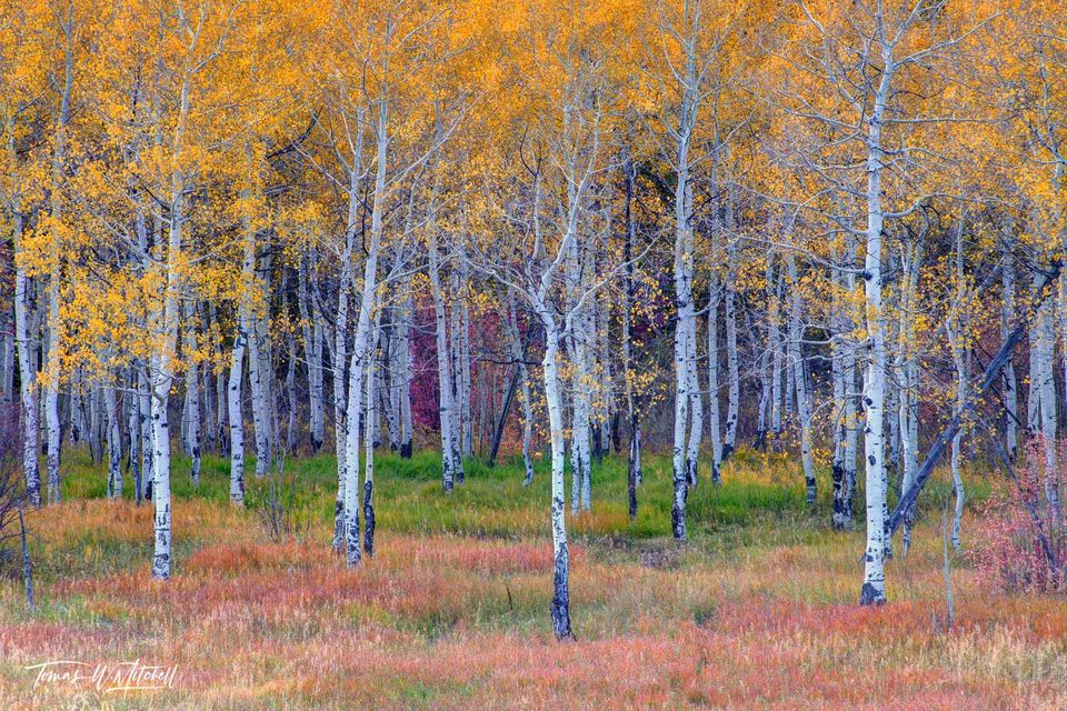 limited edition, fine art, prints, alpine loop, utah, aspen trees, enchanted forest, golden colors, leaves, green, red, yellow, grass, photographing, fall