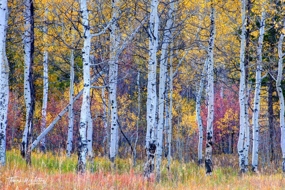limited edition, fine art, prints, photograph, fall, aspen trees, golden leaves, enchanted light, red, green, grass, yellow, forest, patchwork of color