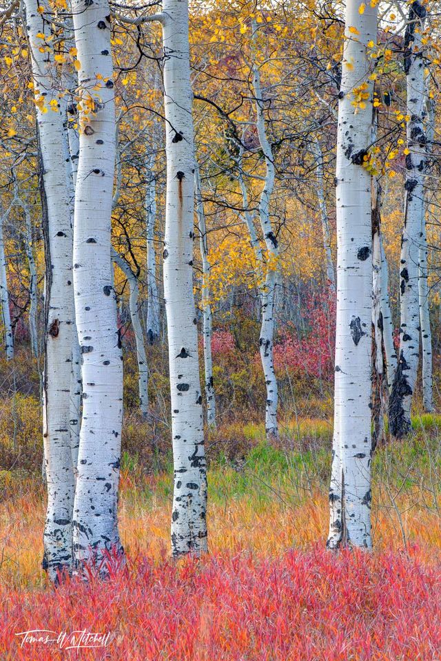 limited edition, fine art, prints, aspens, trees, grove, utah, alpine loop, photograph, enchanted forest, color, red, yellow, green, tree trunks, white