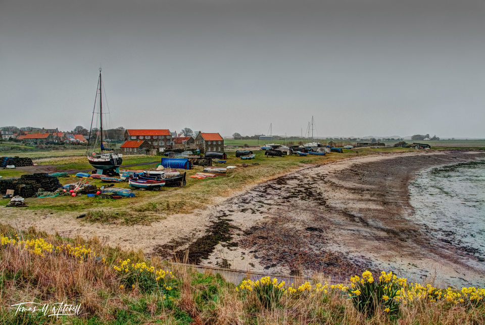 limited edition, museum grade, fine art, prints, fishing village, lindisfarne, england, holy island, history, viking, britain, monastery, photograph, beach, boats, buildings, daffodils, yellow, englis