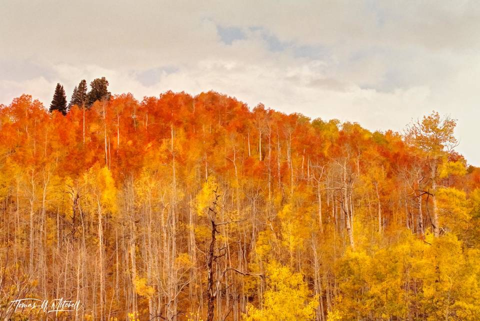 limited edition, fine art, prints, photograph, mount nebo, utah, fall, forest, fire, grove, yellow, red, orange, quaking aspen, trees