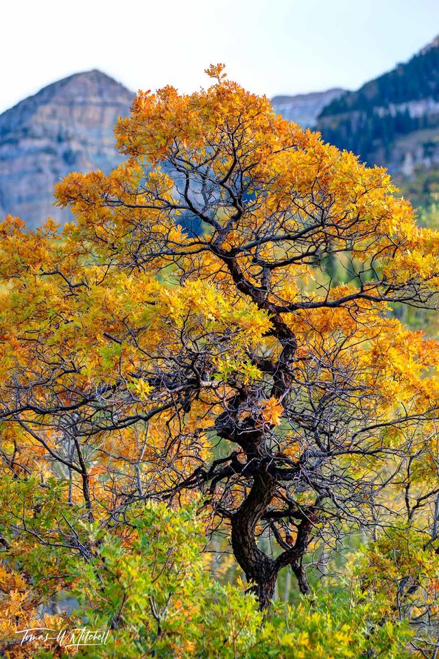 limited edition, museum grade, fine art, prints, forest, color, tree, mountain, bonsai, mount timpanogos, utah, alpine loop, photograph, yellow, amber, fall colors